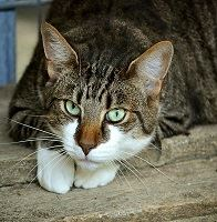 Jaké jsou nejčastější mýty o chování koček?