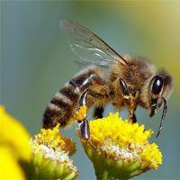 Psi pomáhají včelám zvýšit opylování