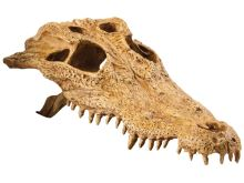 Dekorace EXO TERRA krokodýlí lebka 22x12x7cm